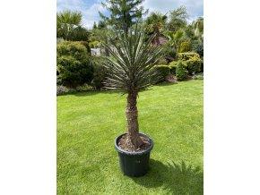 Yucca filifera -10°C - 15°C - výška v dospělosti   mezí 8 - 10 m