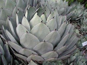 Agáve parryi Huachucensis ( 18°C 22°C)