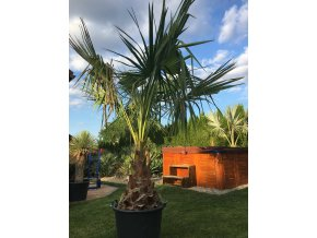 Livistona  Australis - Výška rostliny - 270cm (kmen 70cm)
