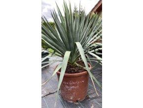 Yucca Gloriosa - 25°C / celková výška rostliny - 60-70 cm