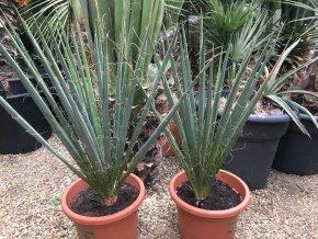 Yucca Filementosa