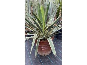 Yucca Gloriosa - Variegata -22°C -25°C /  20cm