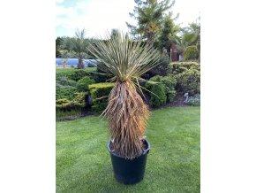 Yucca Thomsoniana - Zelená i modrá forma - SKLADEM!