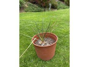 Yucca Thomsoniana - Zelená forma - SKLADEM!