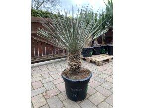 Yucca Elata 1 - 4x Hlava