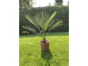 Trachycarpus Priceps - NEW HYBRID