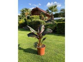 Ensete Ventricosum Maurelii