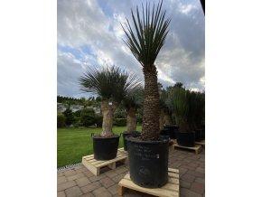 Yucca Treculeana 620