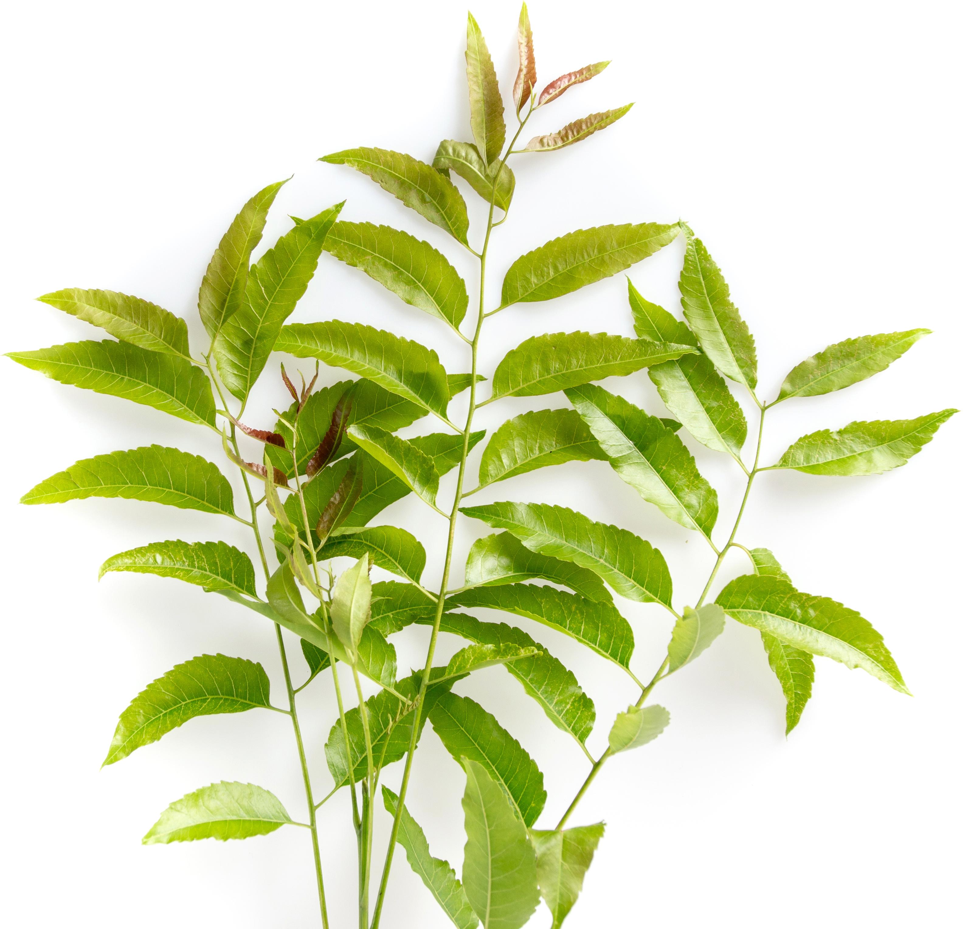 Margosa / Neem - silná detoxikační bylina