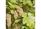 Bílé víno - Solaris