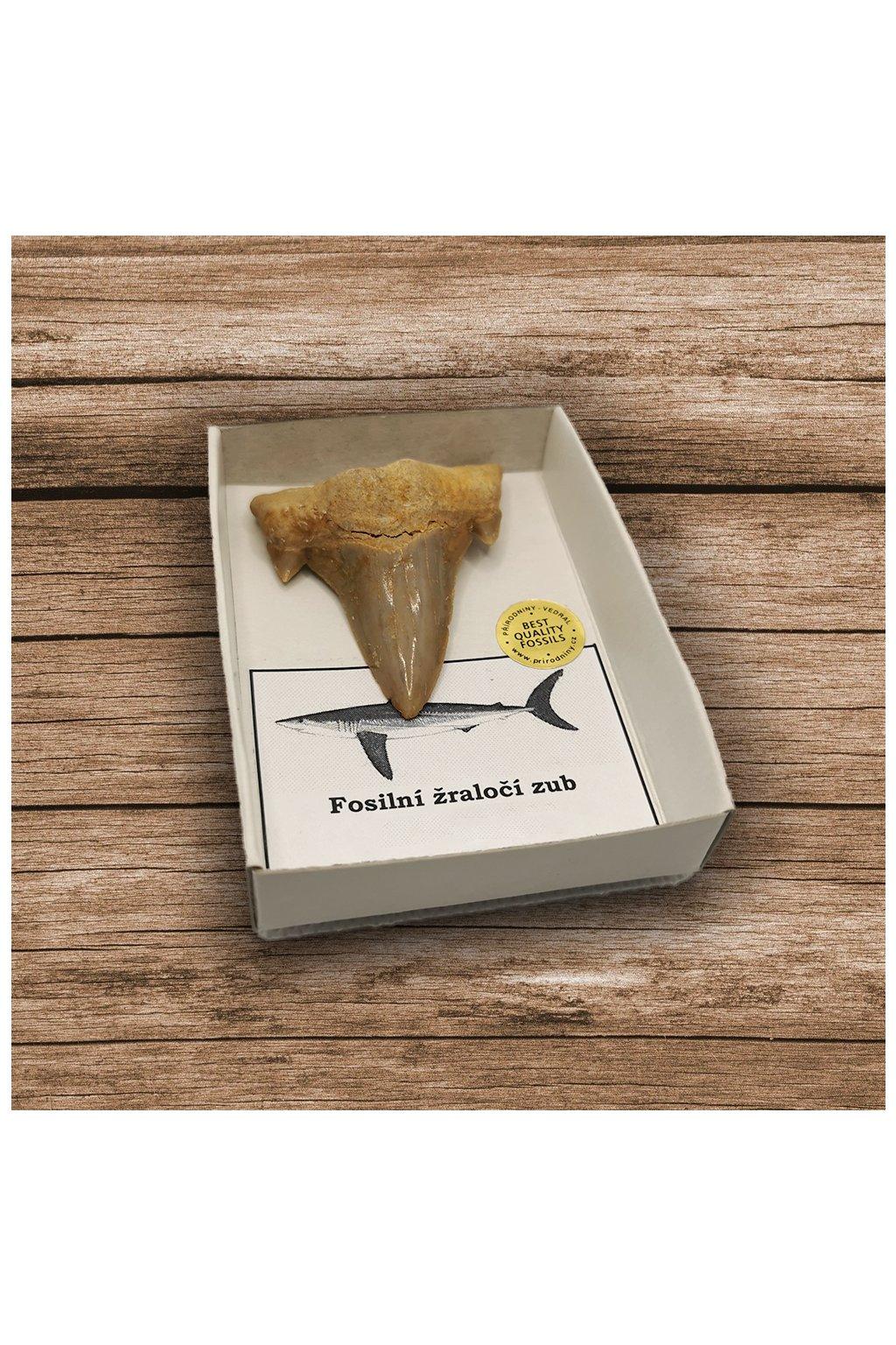 Fosilní žraločí zub v krabičce 1