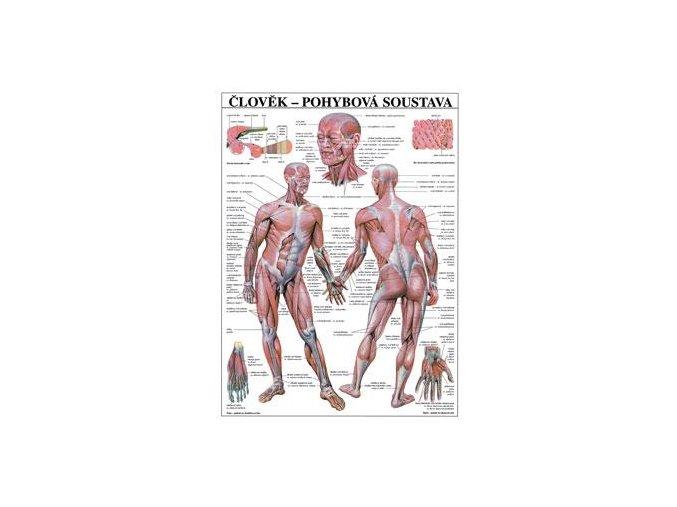 Plakát člověk pohybová soustava   - 67 cm x 97 cm
