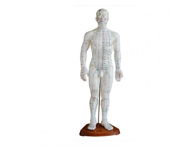 Akupunkturní model - muž