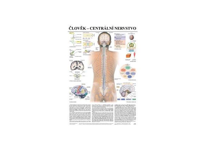 Plakát člověk nervová soustava II - centrální n.  - 67 cm x 97 cm
