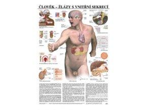 Plakát - člověk žlázy s vnitřní sekrecí - 67 cm x 97 cm