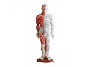 Akupunkturní model - muž, svaly - 55 cm