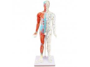 Akupunkturní model - muž, svaly - 85 cm M43