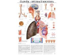 Plakát člověk dýchací soustava - 67 cm x 97 cm