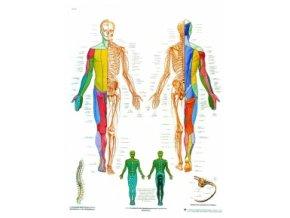 Výuková tabule - Spinální nervy - 50 x 67cm