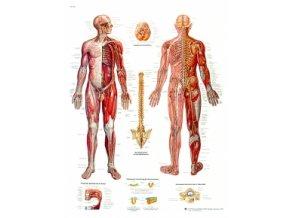 Výuková tabule - Nervový systém - 50 x 67cm