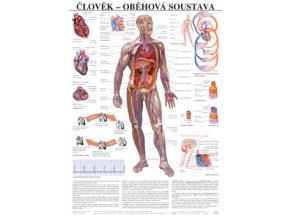 Plakát - člověk oběhová soustava - 67 cm x 97 cm