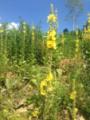 Divozel malokvetý/veľkokvetý