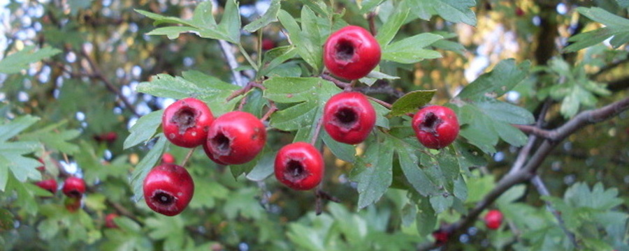1280px-Hawthorn_fruit