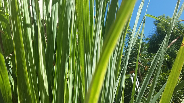 lemongrass%20citronov%C3%A1%20tr%C3%A1va