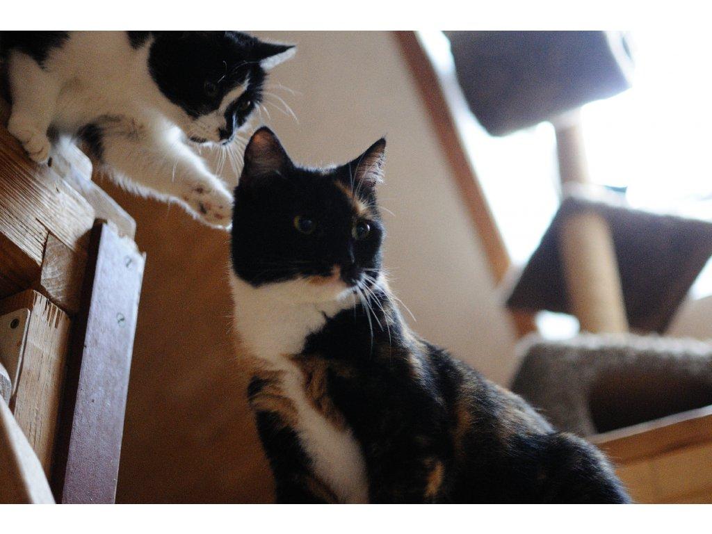 Nejkrásnější kočka do bytu