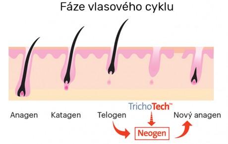 faze_vlasoveho_cyklu