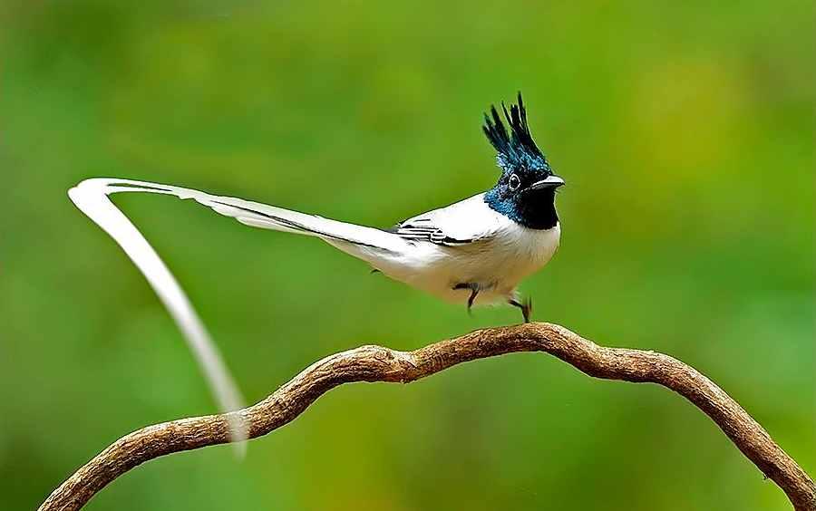Lejsek rajský má ocas 4 x delší než křídla. Čím je ocas delší, tím je zajímavý pro samičky.