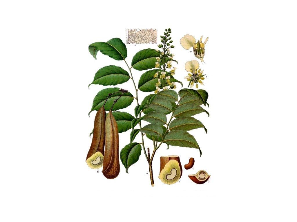 Myroxylon balsamum Köhler–s Medizinal Pflanzen 141