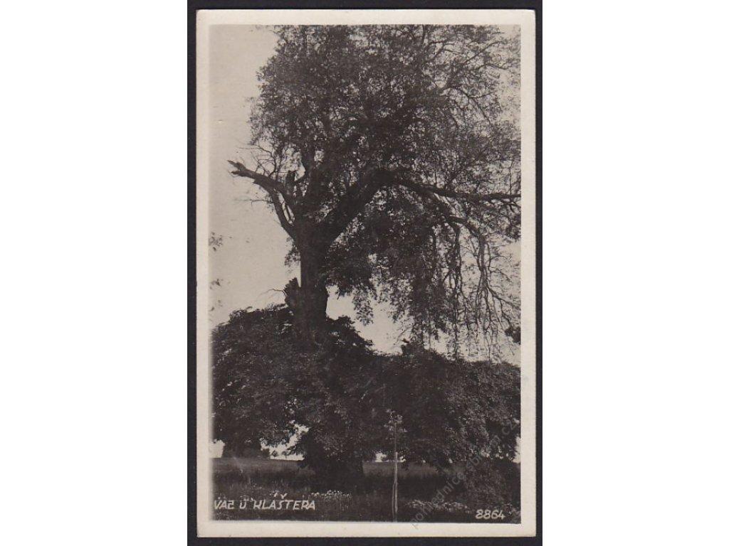 54 - Příbramsko, Březnice, strom (vaz) u kláštera, cca 1938