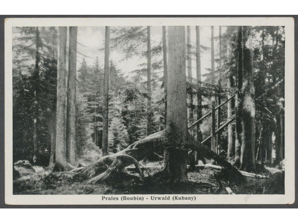 28 - Šumava, Prales (Boubín) - Urwald (Kubany), cca 1937