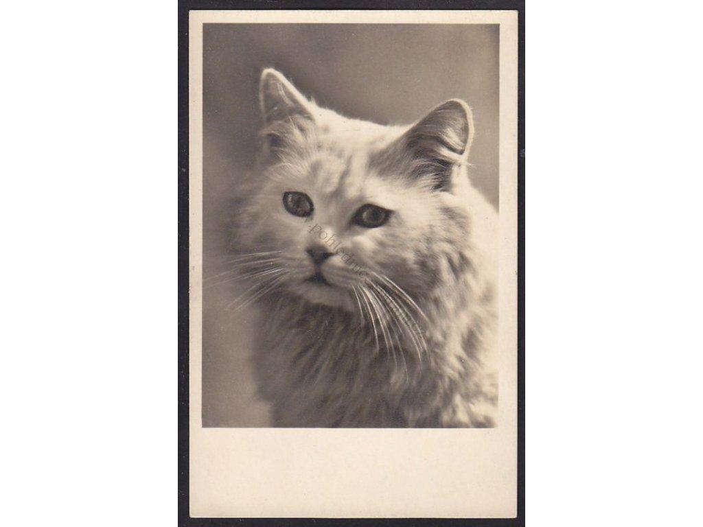 Kočka domácí a pózující, ca 1920