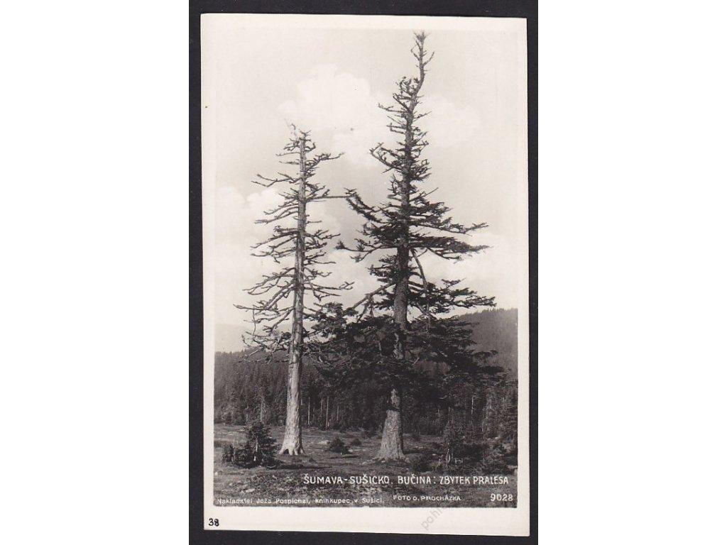 28- Šumava, Bučina, zbytky pralesa, Foto Fon, ca 1930