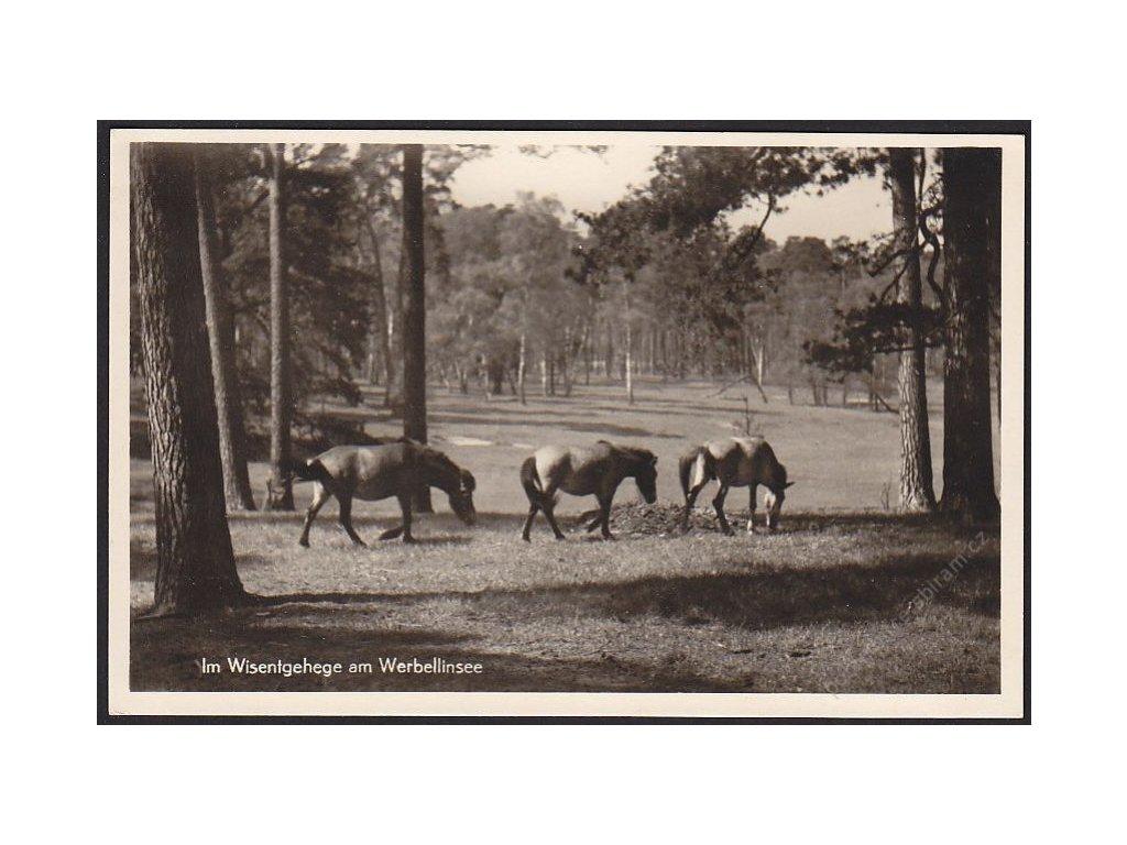 Koně u jezera Werbellin, cca 1935