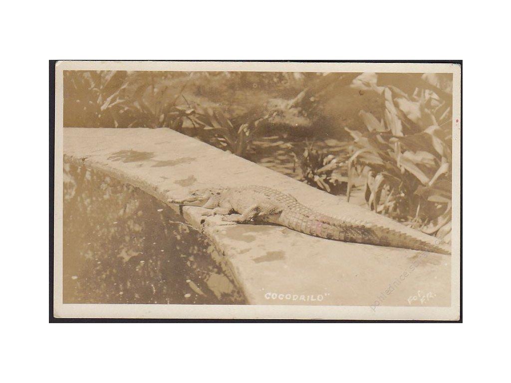Zvířata, krokodýl, cca 1925