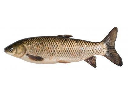 grass carp fish species
