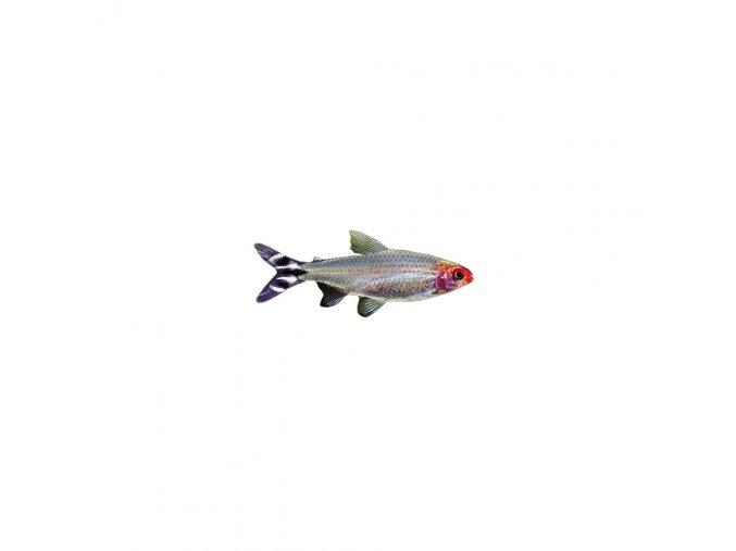 10× okrasná ryba Tetra žhavá