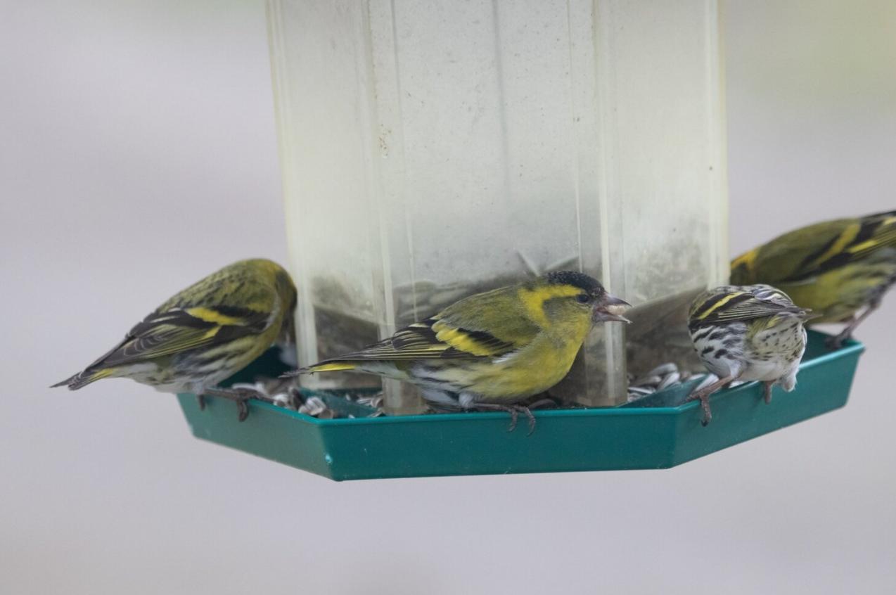 Jak na bezpečné krmítko pro ptáčky