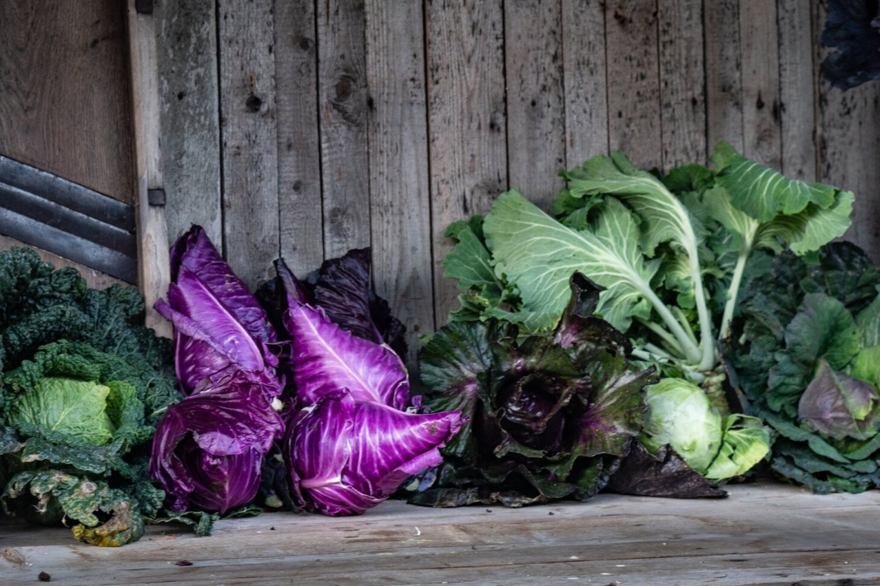 České i světové odrůdy zelí