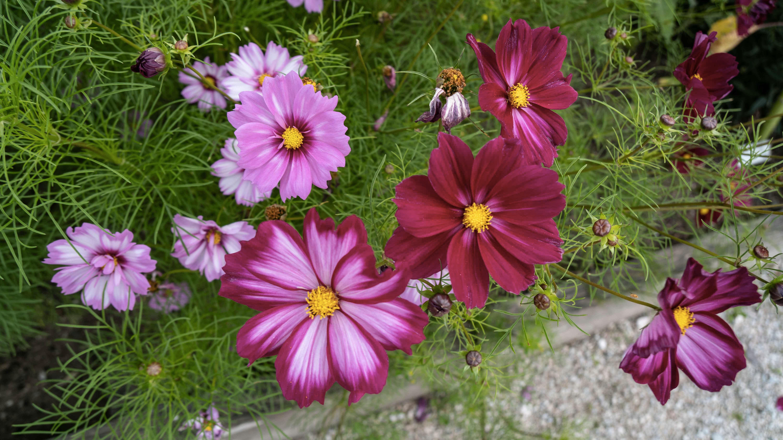 Semínka okrasných květin aneb květiny na záhon i do vázy našich babiček