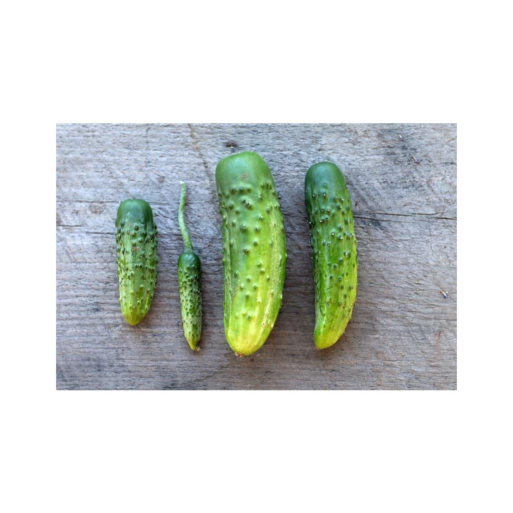 parisian pickle cucumber heirloom 50 days vegetables pinetree garden seeds 765.jpg.webp