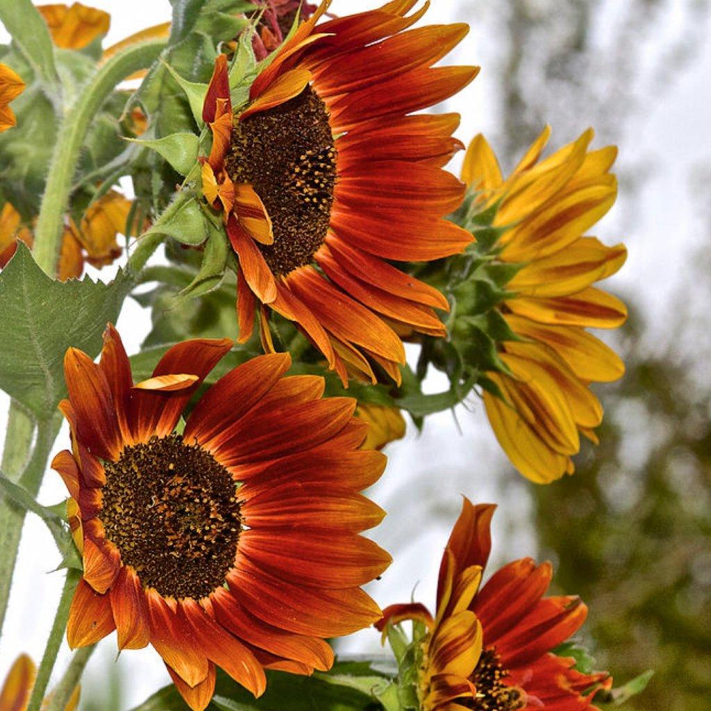 Slunečnice Autumn Beauty