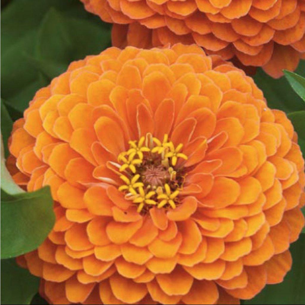 Ostálky jiřinkokvětá oranžová