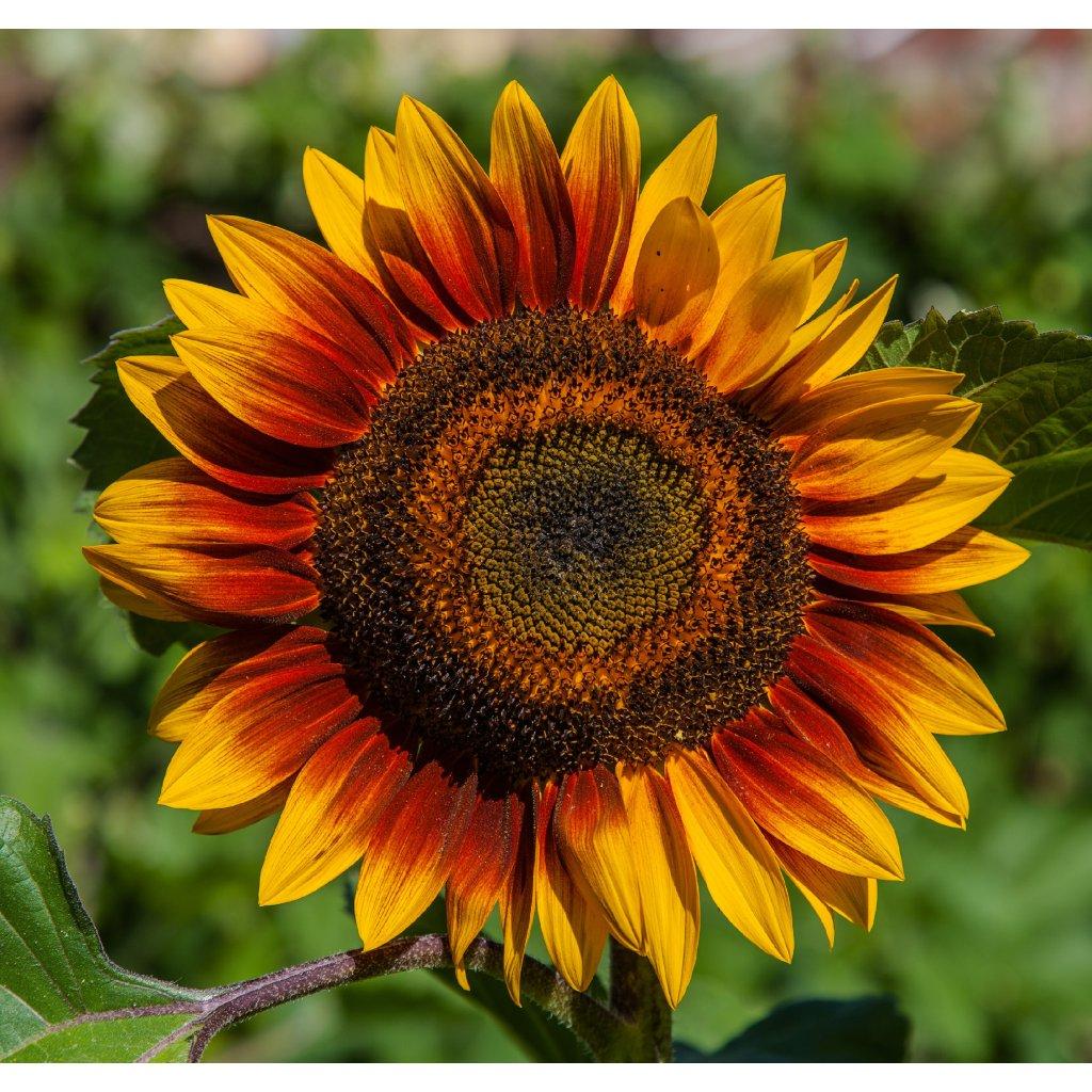 IMG Sonnenblume 8116