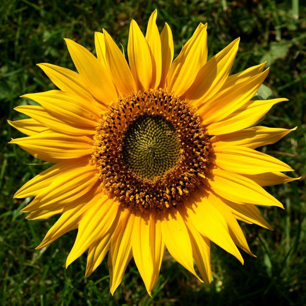 Sonnenblume Helianthus 1