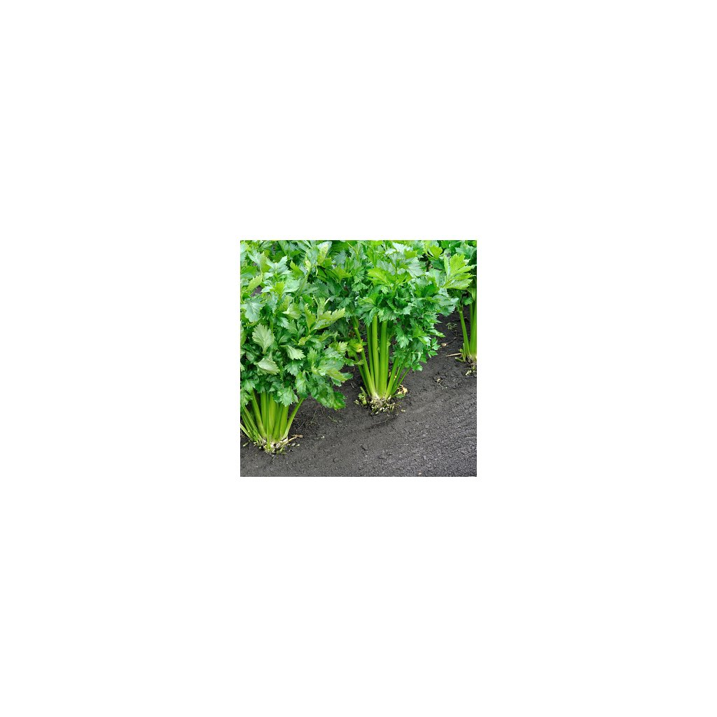 Celer řapíkatý Gigante Dorato 2