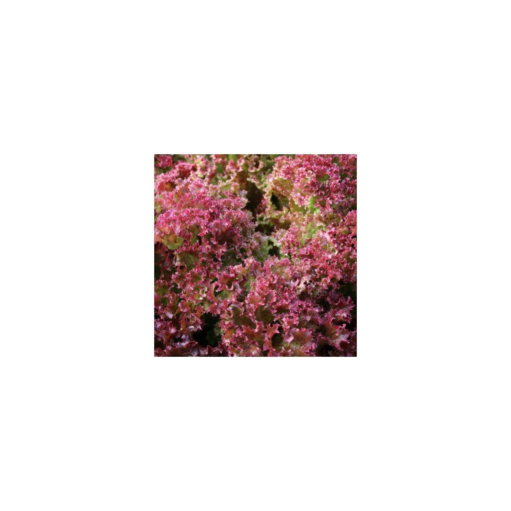Salát listový roset